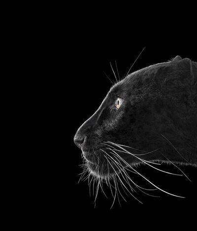 Brad Wilson, 'Black Leopard #2, Monterey, CA, 2014, Affinity series', 2014