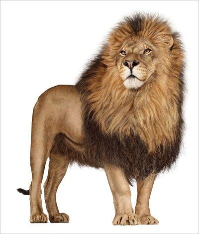 Andrew Zuckerman, 'African Lion 142', 2006