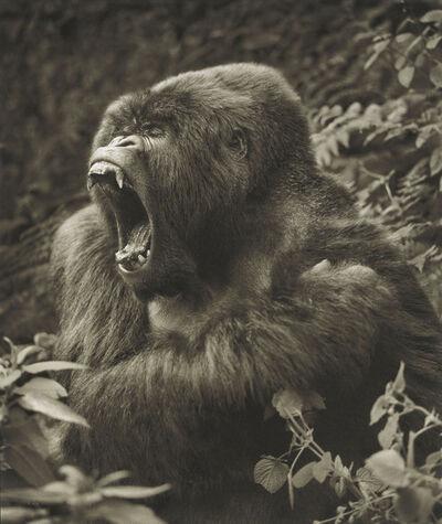 Nick Brandt, 'Gorilla Baring Teeth, Parc des Volcans', 2008