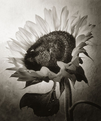 Cy DeCosse, 'Sunflower I'