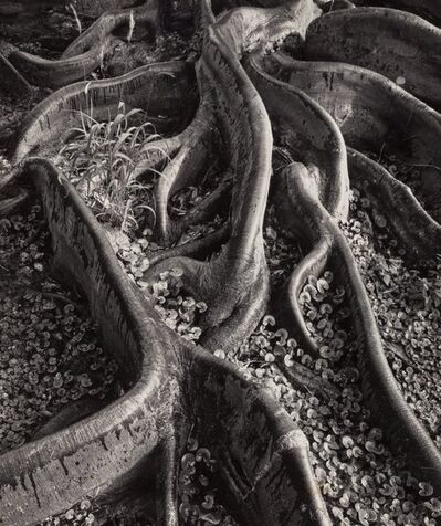 Ansel Adams, 'Roots, Foster Gardens, Honolulu', 1947
