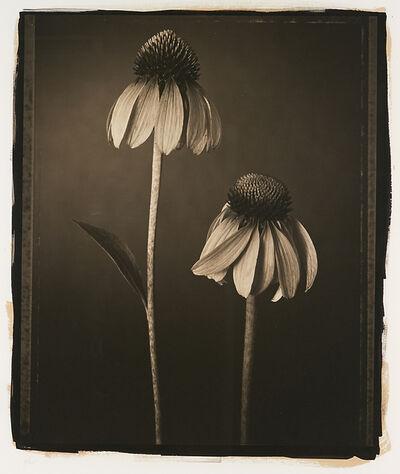 Tom Baril, 'Echinacea'