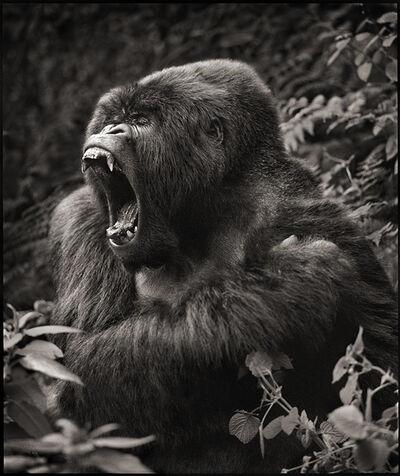 Nick Brandt, 'Gorilla Baring Teeth', 2008