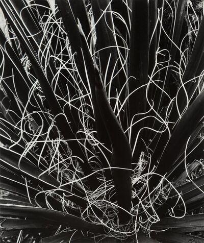 Brett Weston, 'Untitled (Yucca)'