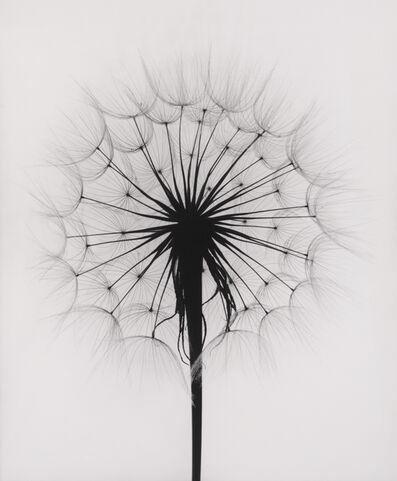 Paul Caponigro, 'Scottish Thistle, Rochester, NY', 1958