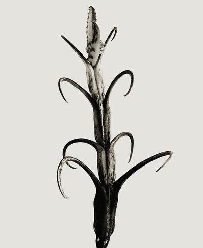 Joan Fontcuberta, 'Licovornus punxis', 1983