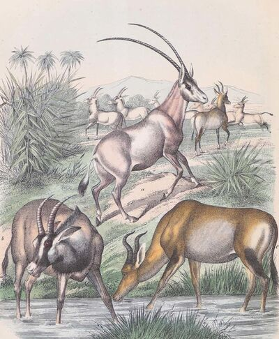 Unknown, 'Antelopes', 1860