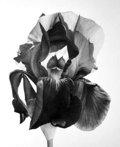 Jonathan Delafield Cook, 'Iris II', 2019