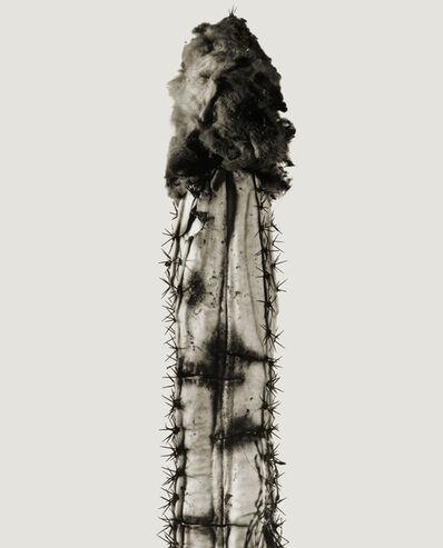 Joan Fontcuberta, 'Phillocactus Chumbra', 1984
