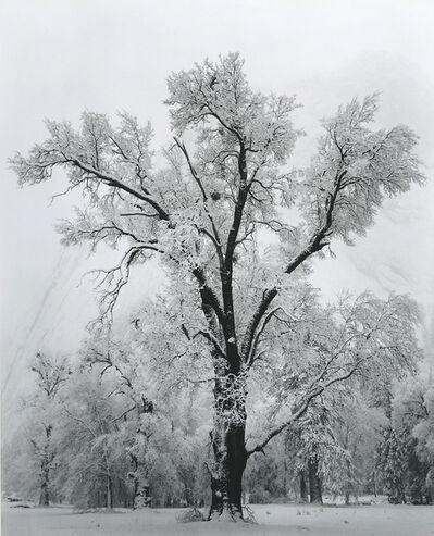 Ansel Adams, 'Oak Tree — Snow Storm', 1948