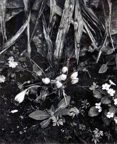 Paul Strand, 'Crocus and Primroses, Orgeval', 1957