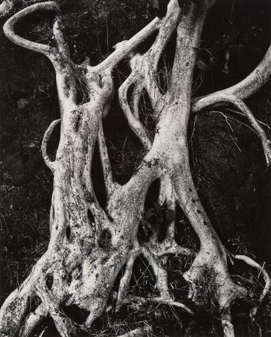 Brett Weston, 'Tree Trunks, Mexico (Twisted Trees)', 1973