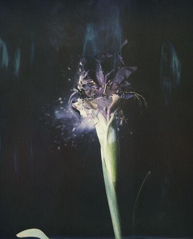 Ori Gersht, 'Iris atropurpurea P04', 2018