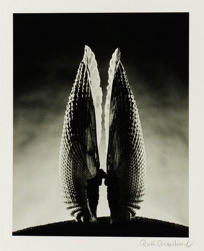 Ruth Bernhard, 'Angelwing', 1943