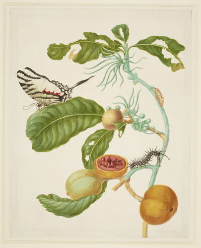 Maria Sibylla Merian, 'Branch of Duroia eriopila with Zebra Swallowtail Butterfly', 1702-1703