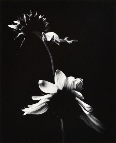 Paul Caponigro, 'Sunflowers', 1974