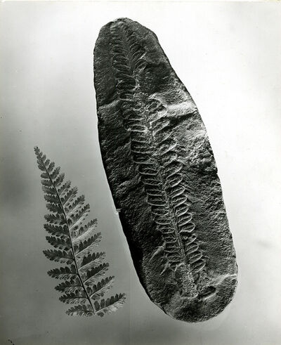 Berenice Abbott, 'Fern fossil', ca. 1950