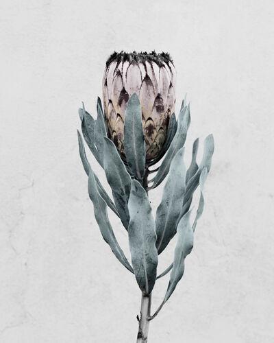 Vee Speers, 'Protea cynaroides', 2016