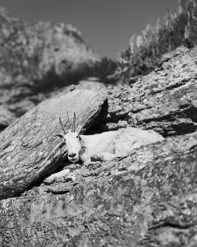 David Benjamin Sherry, 'Auto Reincarnated and Geotagged (Mountain Goat with GPS device), Logan Pass, Montana', 2014