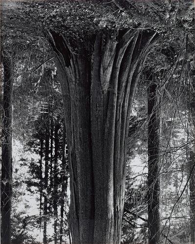 Rodney Graham, 'Cedars, Stanley Park (8)', 1991-2000