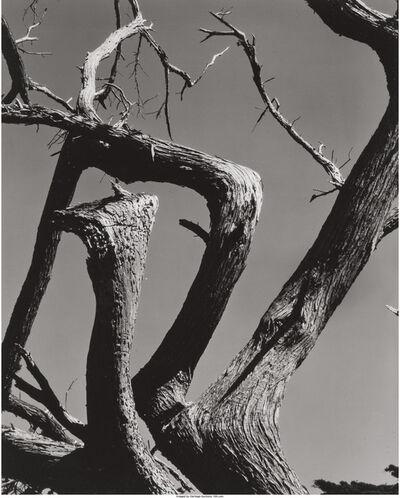 Edward Weston, 'Cypress, Point Lobos', 1930