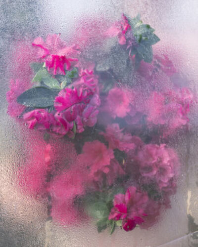 Cig Harvey, 'Azaleas Pressing, Rockport Maine', 2018