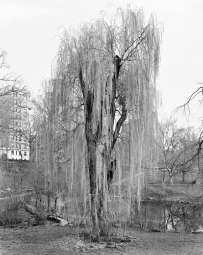 Mitch Epstein, 'Weeping Willow, Central Park, New York ', 2012