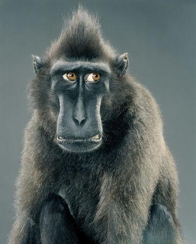Jill Greenberg, 'Worried (from Monkey Portraits)', 2004