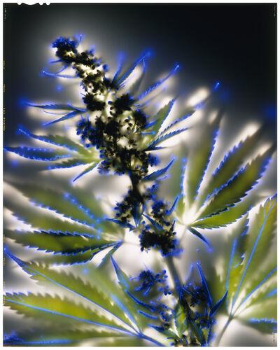 Robert Buelteman, 'Cannabis Sativa', 2002
