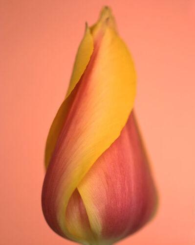 Ron van Dongen, 'Tulipa 'Blushing Beauty' (CSL 036)', 2005