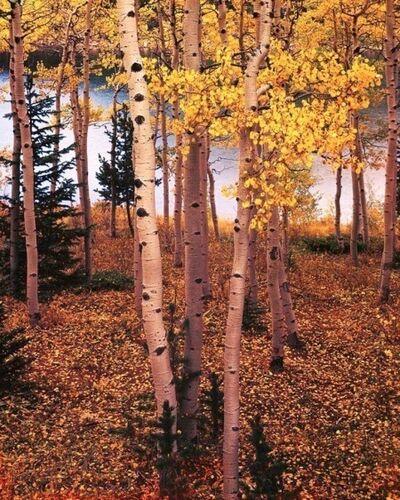 Eliot Porter, 'Trees Portfolio (Aspens by Lake, Colorado, one of 10 prints)', 1959