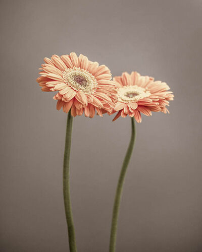 Paul Coghlin, 'Two Gerbera', 2014