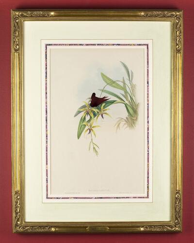 Brandon Ballengée, 'RIP Coppery Thorntail Hummingbird: After John Gould, 1861', 2015