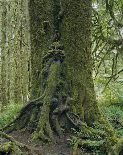Mitch Epstein, 'Sitka Spruce, Hoh Rain Forest, Olympic National Park, Washington 2017', 2017