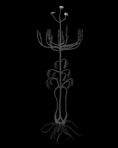 Miljohn Ruperto & Ulrik Heltoft, 'Volynich Botanical Studies, Specimen 22r JARO', 2013