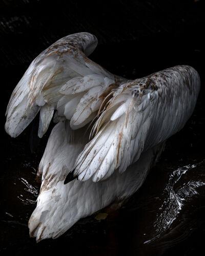 Anastasia Samoylova, 'Diving Pelican', 2018