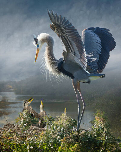 Cheryl Medow, 'Great Blue Heron With Chicks Revisited', 2014