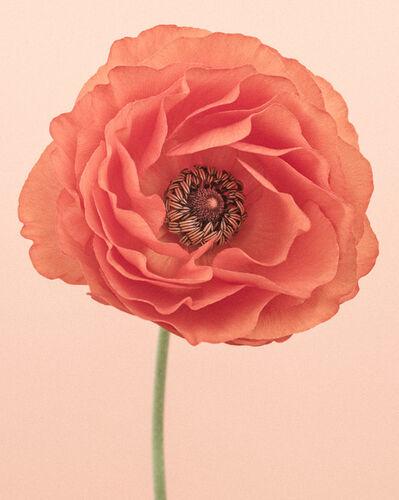 Paul Coghlin, 'Orange Ranunculus II  ', 2015