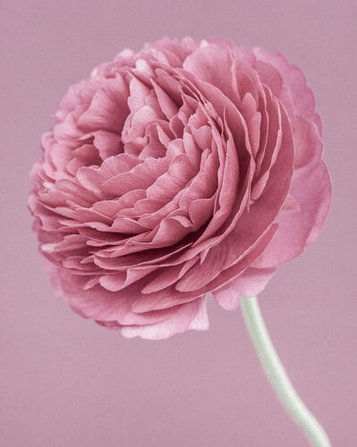 Paul Coghlin, 'Pink Ranunculus', 2015