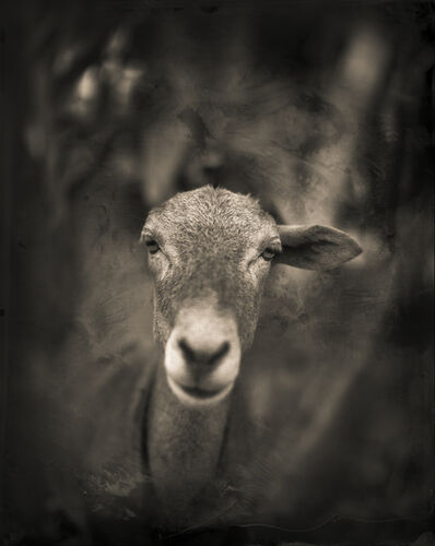 Keith Carter, 'One Eared Goat', 2015