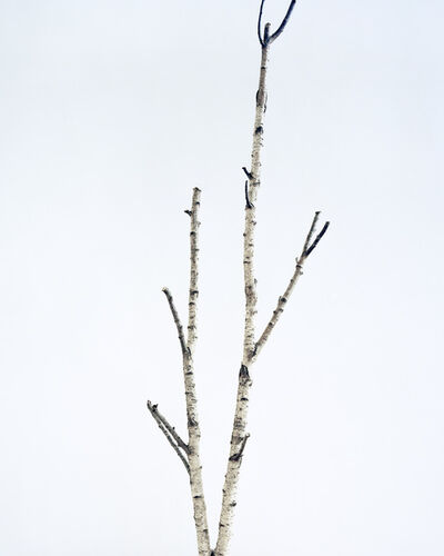 Juliane Eirich, 'Birch Tree I', 2014
