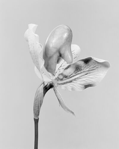 Robert Voit, 'The Alphabet of New Plants, Cypripedium calceolus/ Gelber Frauenschuh', 2014
