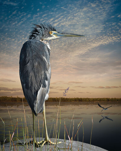 Cheryl Medow, 'Tri-Colored Heron and A Skimmer', 2017