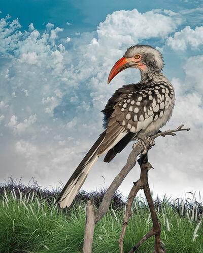 Cheryl Medow, 'Southern Re-Billed Hornbill', 2019