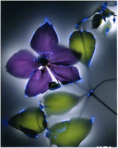 Robert Buelteman, 'Purple Clematis, 23/25'