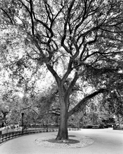 Mitch Epstein, 'American Elm, Tompkins Square Park, New York, from the series New York Arbor', 2012