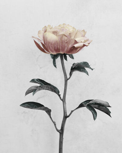 Vee Speers, 'Botanica #16 - Paeonia', 2016