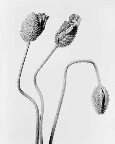 Robert Voit, 'The Alphabet of New Plants, Papaver orientale/ Türkischer Mohn. Drei Blütenknospen', 2014