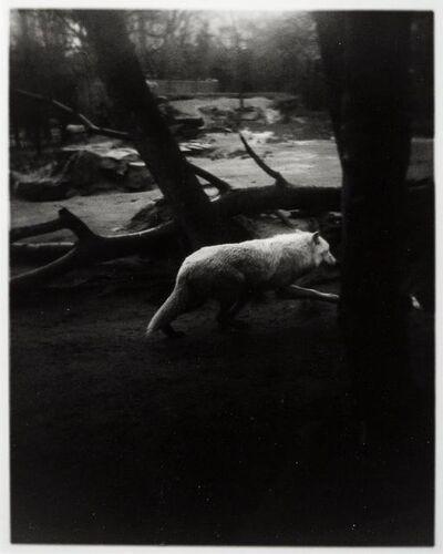 Becky Beasley, 'News of The Wolf (1) (Berlin Zoo)'