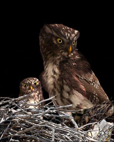 Dominic Harris, 'Pygmy Owl | Ruffled', 2017
